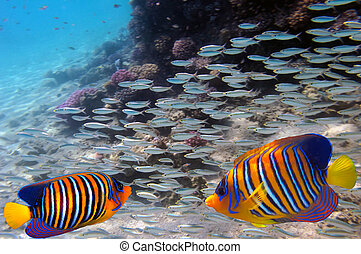 Regal angelfish swimming over a coral reef  - Red Sea