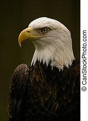 Regal Bald Eagle portrait pose