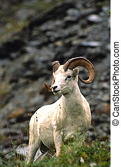 Regal Dall Sheep Ram - a regal dall sheep ram standing in ...