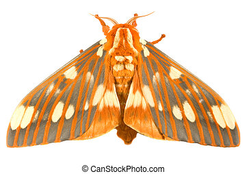 Regal Moth - Citheronia regalis isolated on white background