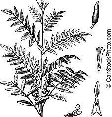 regaliz, grabado, glycyrrhiza, vendimia, glabra, o