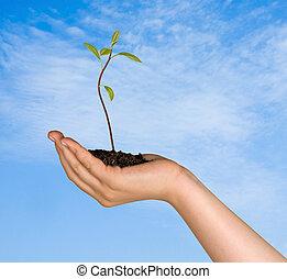 regalo, planta de semillero, aguacate, árbol, mano, Agricultura