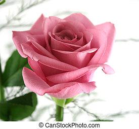 regalo, rose, 3