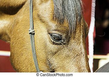 regard, cheval brun
