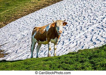 regarder, appareil photo, vache