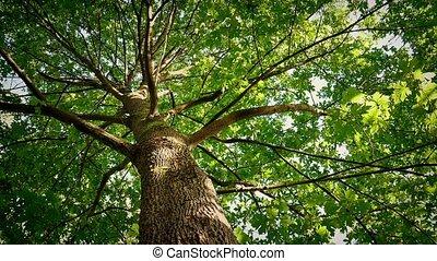 regarder, baldaquin arbre, ensoleillé, haut