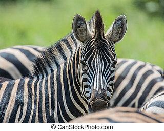 regarder, commun, zebra