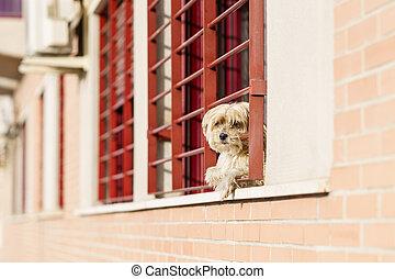 regarder, covid-19, fenêtre, chien, emprisonnement, dehors, dû, peu, temps, pandémie