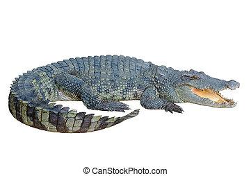 regarder, crocodile, quelque chose