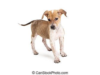 regarder, expression, chien, bas, rigolote, chiot