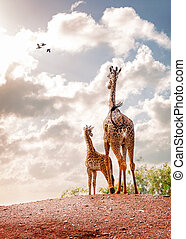 regarder, girafe, mère, bébé, levers de soleil, dehors