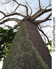 regarder, grand, arbre, haut