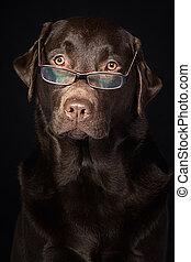 regarder, intelligent, sage, labrador, chocolat