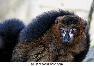 regarder, lemur, macaco), (eulemur, noir, alerte, loin...