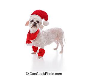 regarder, peu, chien blanc, santa