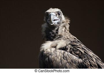 regarder, vautour