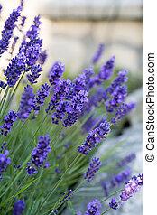 rege, lavendel, gärten