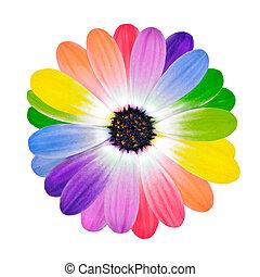 regenboog, multi kleurig, kroonbladen, van, madeliefje,...