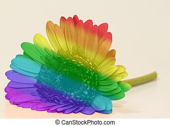regenboog, vlag, gerbera
