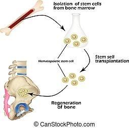 regeneration., använd, celler, illustration, stam, infographics., vektor, märg, ben