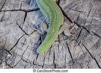 Regeneration of the lizard's tail. An ordinary quick green...