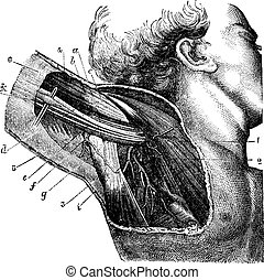 Region of the armpit, vintage engraving.