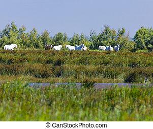 regional, parc, de, francia, camargue, camargue, caballos, ...