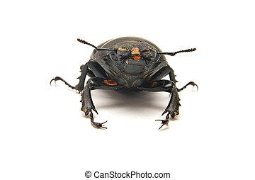rehbock, lucanus, cervus, weibliche , käfer