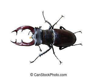 rehbock, weißes, käfer