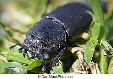 rehbock, weibliche , käfer