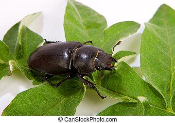 rehbock, weibliche , (lucanus, cervus), käfer