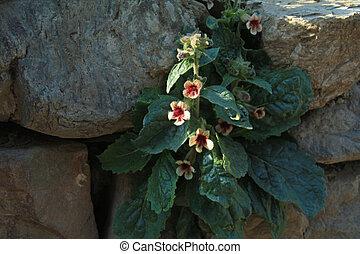 rehmannia glutinosa growth on the wall