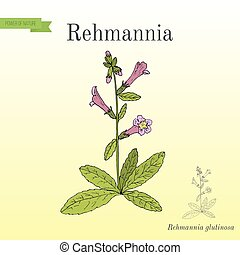 Rehmannia glutinosa, herb of traditional Chinese medicine