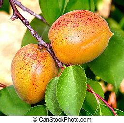 reif, aprikosen, auf, a, baum- niederlassung