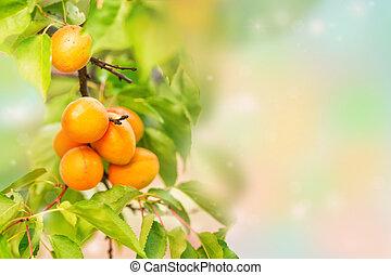 reif, aprikosen, wachsen, zweig