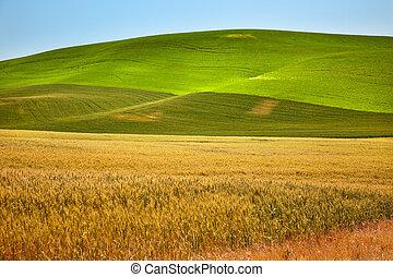 reif, gelbes grün, weizen, felder, palouse, staat washington...
