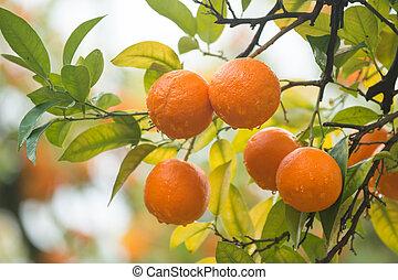 reif,  mandarines