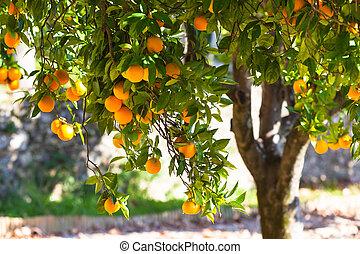 reif, orangen, auf, baum