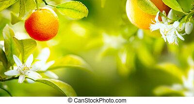 reif, orangen, oder, mandarinen, hängen, a, baum., gesunde, organische , saftig, früchte, wachsen, in, sonnig, obstgarten