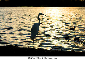 reiger, silhouette, op, water, op, ondergaande zon