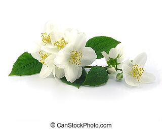 reihe, jasmin, zweig, flowers:, frisch