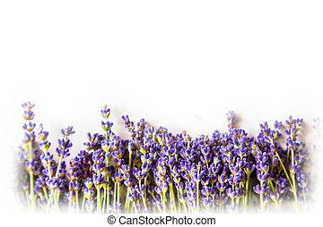 reihe, von, lavendel, blumen, weiß, hintergrund, mit, kopieren platz