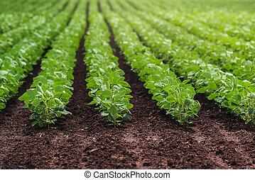 reihen, von, kultiviert, soja bohne, ernten