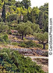 reihen, von, olivenbäume, -, ölbaum, plantage