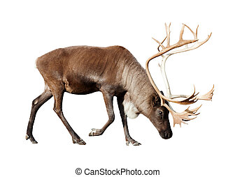 reindee over white - reindeer. Isolated over white...