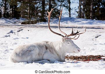 Reindeer - A reindeer laying down sleeping in the snow