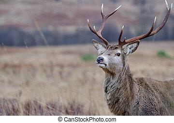 Reindeer - close up head shot of a scottish reindeer