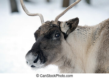 Reindeer - Close-up portrait of a reindeer on a cold Winter ...