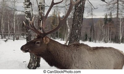 deer eat in the winter forest