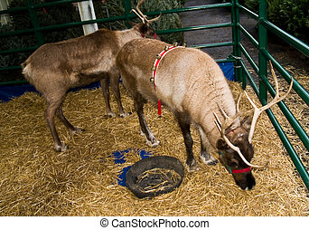 Reindeer Eating Straw in a Man Made Enclosure